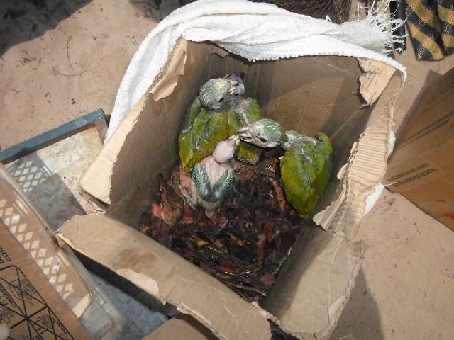 Filhotes de papagaio estavam sendo transportados por traficantes em caixas de papelão