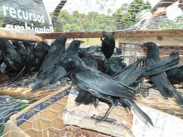 35 chicos pretos capturados no Parque Estadual do Mirador seria vendidos clandestinamente