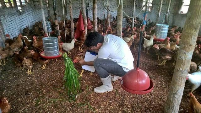 Veterinário Francisco Soares, da Semapa, verifica condições fisiológicas de aves em abatedouro