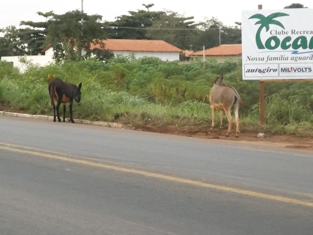 Dois jumentos soltos na rodovia (Foto/M. Rodrigues)
